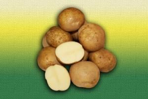 Картофель белорусской селекции Лилея :: ОАО Агромотоль