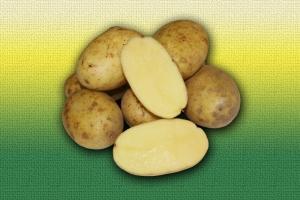 Картофель голландской селекции Рамос :: ОАО Агромотоль