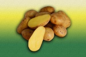 Картофель белорусской селекции Скарб :: ОАО Агромотоль